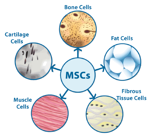 Mesenchymal Stem Cells